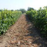 Наш сад и виноградник