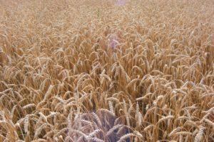 Возделывание озимой пшеницы по нулевой технологии