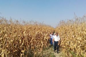 Осмотр посевов гибрида кукурузы Стелла СВ в с. Кахун, Кабардино-Балкария