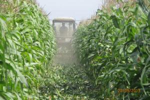 Технология производства гибридных семян кукурузы