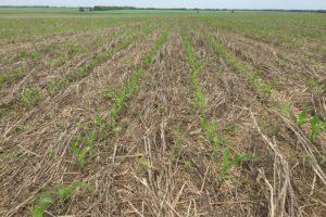 Всходы семенной кукурузы посеянной по сплошному слою остатков почвопокровных посевов.