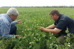 Обсуждение методики борьбы против гороховой зерновки